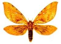 Кавказский тонкопряд (Phassus schamyl), рисунок картинка, бабочки насекомые