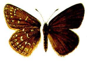 Степная угольная голубянка (Neolycaena rhymnus), рисунок картинка, бабочки насекомые