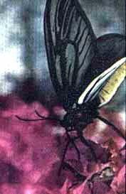 Птицекрыл королева Александра (Ornithoptera alexandrae), фото фотография, бабочки насекомые