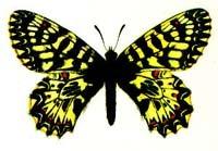 Поликсена (Zerynthia polyxena), рисунок картинка, бабочки насекомые