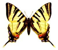 Подалирий (Iphiclides podalirius), рисунок картинка, бабочки насекомые