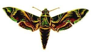 Олеандровый бражник (Deilephila nerii), рисунок картинка, бабочки насекомые