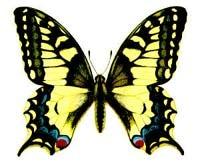 Махаон (Papilio machaon), рисунок картинка, бабочки насекомые