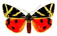 Медведица Гера (Callimorpha quadripunctaria), рисунок картинка, бабочки насекомые