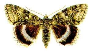 Голубая орденская лента (Catocala fraxini), рисунок картинка, бабочки насекомые