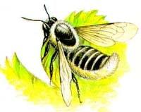 Округлая мегахила (Megachile rotundata), рисунок картинка, насекомые