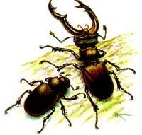 Жук-олень (Lucanus cervus), рисунок картинка, насекомые