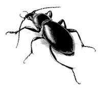 Венгерская жужелица (Carabus hungaricus), рисунок картинка, насекомые жуки
