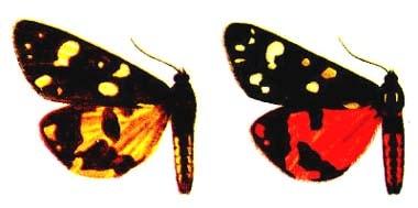Медведица госпожа (Callimorpha dominula), рисунок картинка, бабочки насекомые