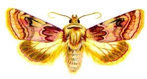 Шпорниковая совка (Chariclea delphinii), рисунок картинка, бабочки насекомые