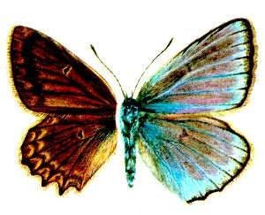 Голубянка дафнис, мелеагр (Polyommatus daphnis), рисунок картинка, бабочки насекомые
