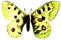 Аполлон бабочка (Parnassius apollo), рисунок картинка, бабочки насекомые