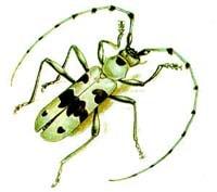 Альпийский усач (Rosalia alpina), рисунок картинка, жуки насекомые