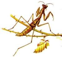 Короткокрылая боливария (Bolivaria brachyptera), рисунок картинка, насекомые