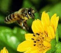 Пчела, фото фотография, насекомые