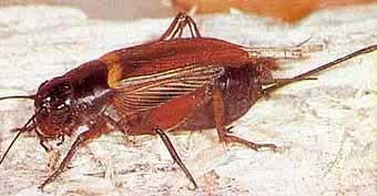 Сверчок, фото фотография, насекомые