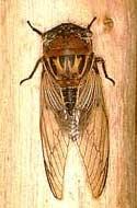 Цикада, фото фотография, насекомые
