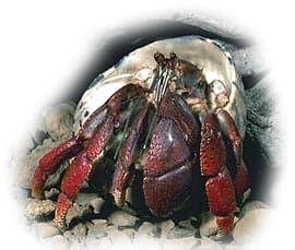 краб отшельник сухопутный (Coenobita clypeatus), фото, фотография