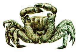 мраморный краб, мраморный краб, краб паук, морской паук (Pachygrapsus marmoratus), рисунок взят с сайта http://www.grid.unep.ch/bsein/redbook, фото, фотография