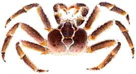 камчатский краб, краб, королевский краб, красный королевский краб, гигантский камчатский краб (Paralithodes camtschatica, Paralithodes camtschaticus), рисунок взят с сайта www.crabs.ru, рисунок, фото