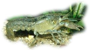 голубой рак, рак голубой, голубой кубинский рак, карликовый речной рак, кубинский декоративный краб (Procambarus cubensis), фото, фотография