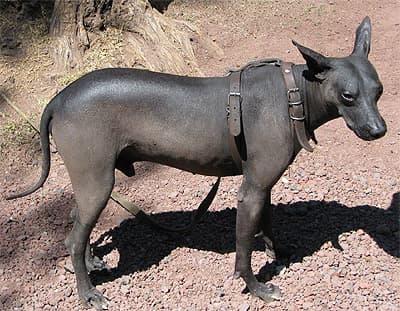 Мексиканская голая собака, или ксолоитцкуинтли, фото фотография, породы собак