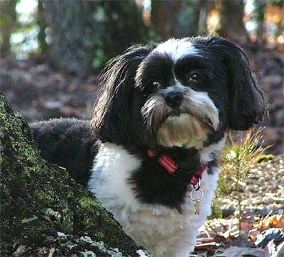 Кай лео, фото фотография, породы собак