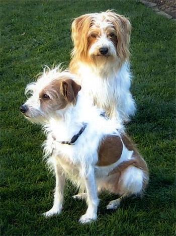 Кромфорлендер, фото фотография, породы собак