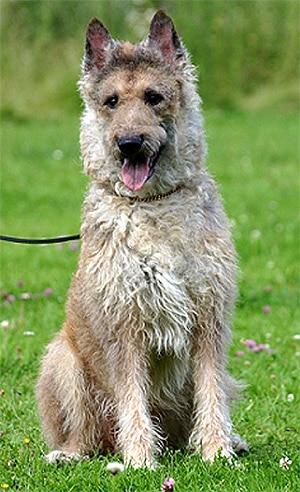 Лакенуа, бельгийская овчарка, фото фотография, породы собак