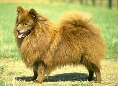 Немецкий шпиц, фото, фотография, породы собак