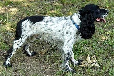 Русский охотничий спаниель, фото фотография, породы собак