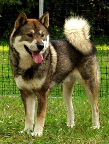 Сикоку, японские породы собак, фото, фотография