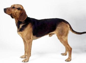 Балканская гончая, сербская гончая, породы собак, фото фотография