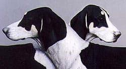 Большая англо-французская бело-черная гончая, фото, фотография