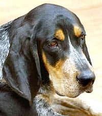 Крапчато-голубой кунхаунд, фото, фотография, породы собак