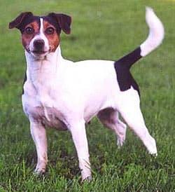 Датская фермерская собака, фото, фотография