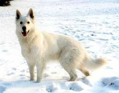 Белая швейцарская овчарка, фото фотография собаки