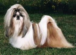 Ши-тцу, фото, фотография, породы собак