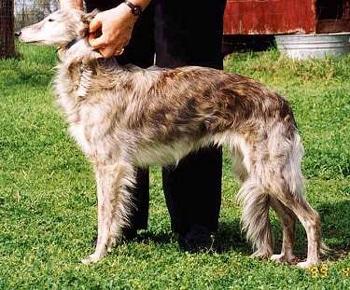 Шелковистый виндхаунд, шелковистый уиппет, породы собак, фото фотография