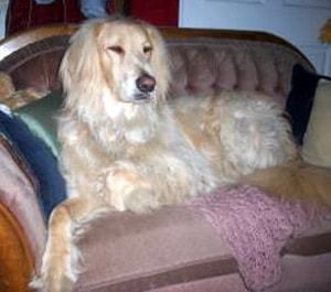 Афган ретривер, породы собак, фото фотография