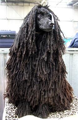 Шнуровый пудель, породы собак, фото фотография