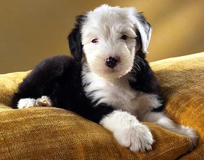 Изоспороз собак, фото фотография