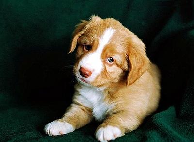 Почему у 2х месячного щенка таксы параанальные