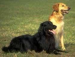 Ховаварты, фото фотография, породы собак собаки