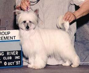Китайская голая хохлатая собачка, пуховка, фото, фотография