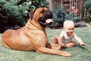 Бульмастиф и ребенок, фото фотография