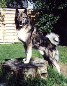 Laika (Russian: Лайка) refers to a type of hunting dog of Northern.