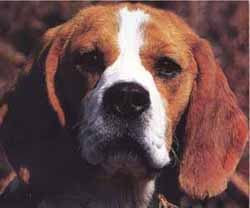 Бигль фото фотография породы собак
