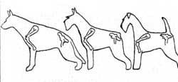 Строение конечностей у овчарки, шнауцера и эрдельтерьера, рисунок картинка