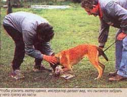 Чтобы усилить хватку щенка, инструктор делает вид, что пытается забрать у него тряпку из пасти